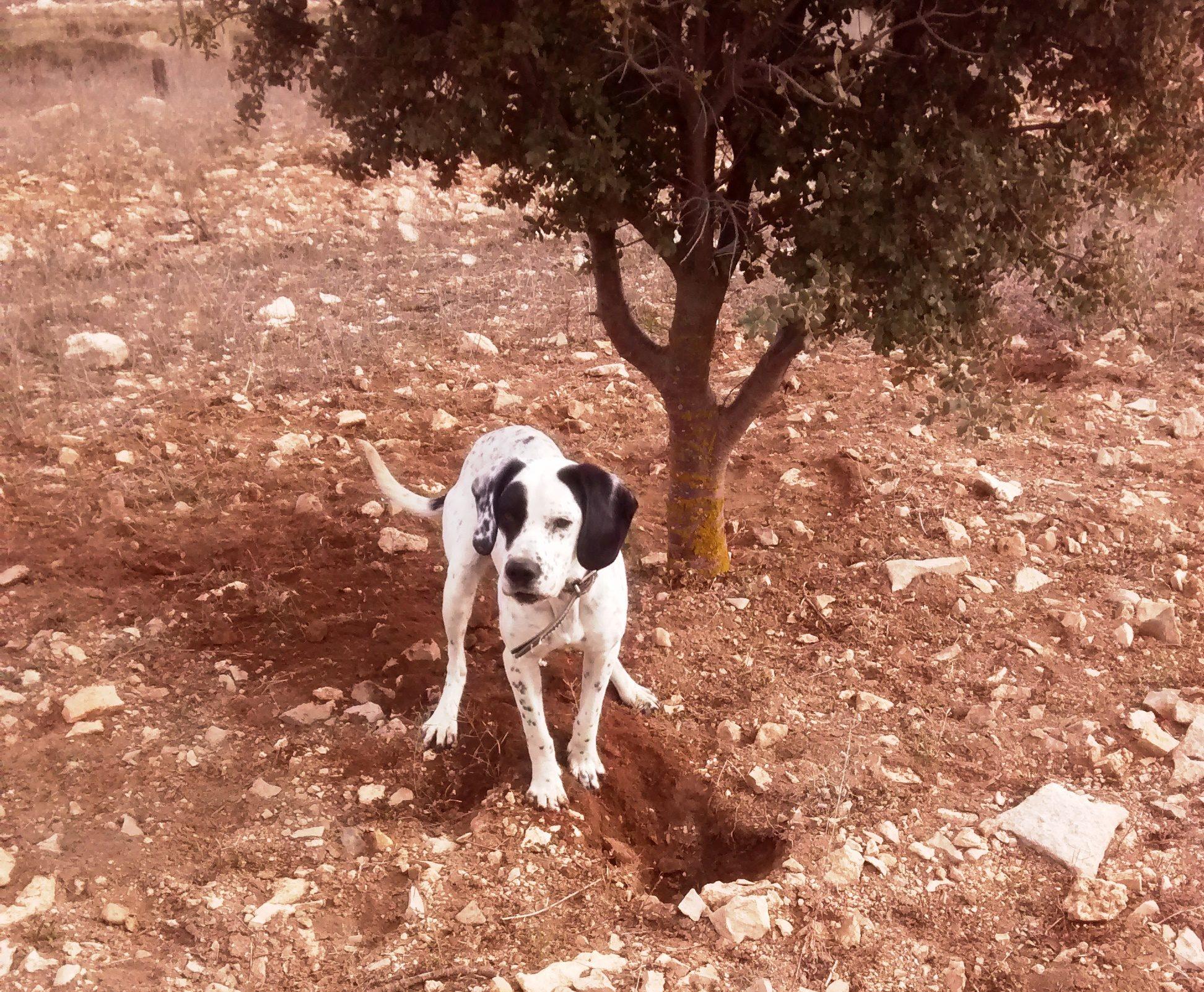 perro buscando trufas