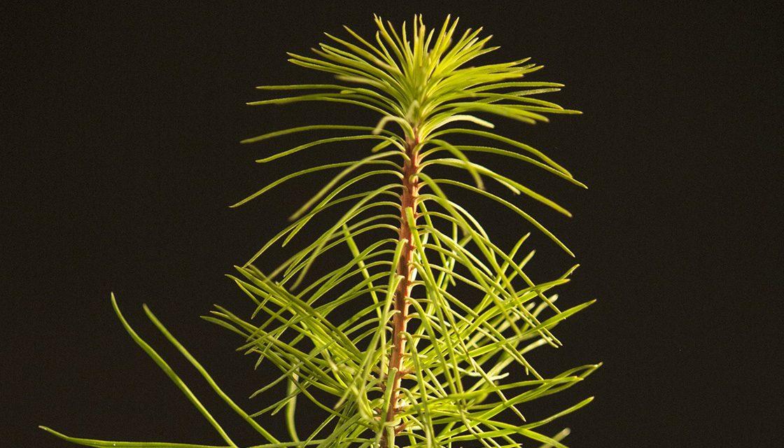Pine tree inoculated with saffron milk cap mushroom