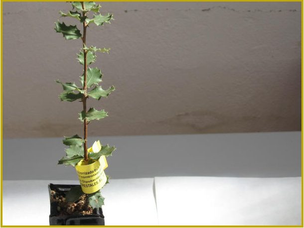 SOME CONSIDERATIONS CONCERNING THE QUALITY OF THE TRUFFLE SEEDLING