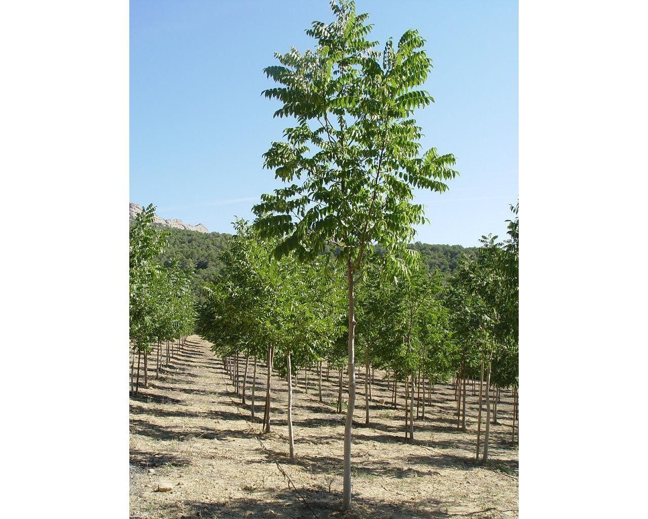 plantación nogales madera