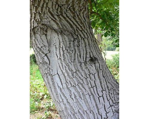 Walnut wood, always increasing in value