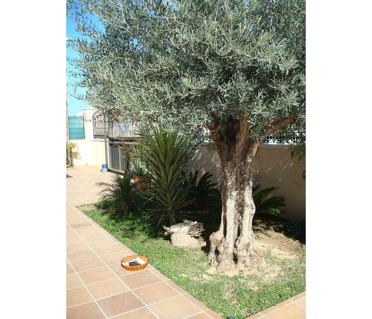 olivo en jardín con setas