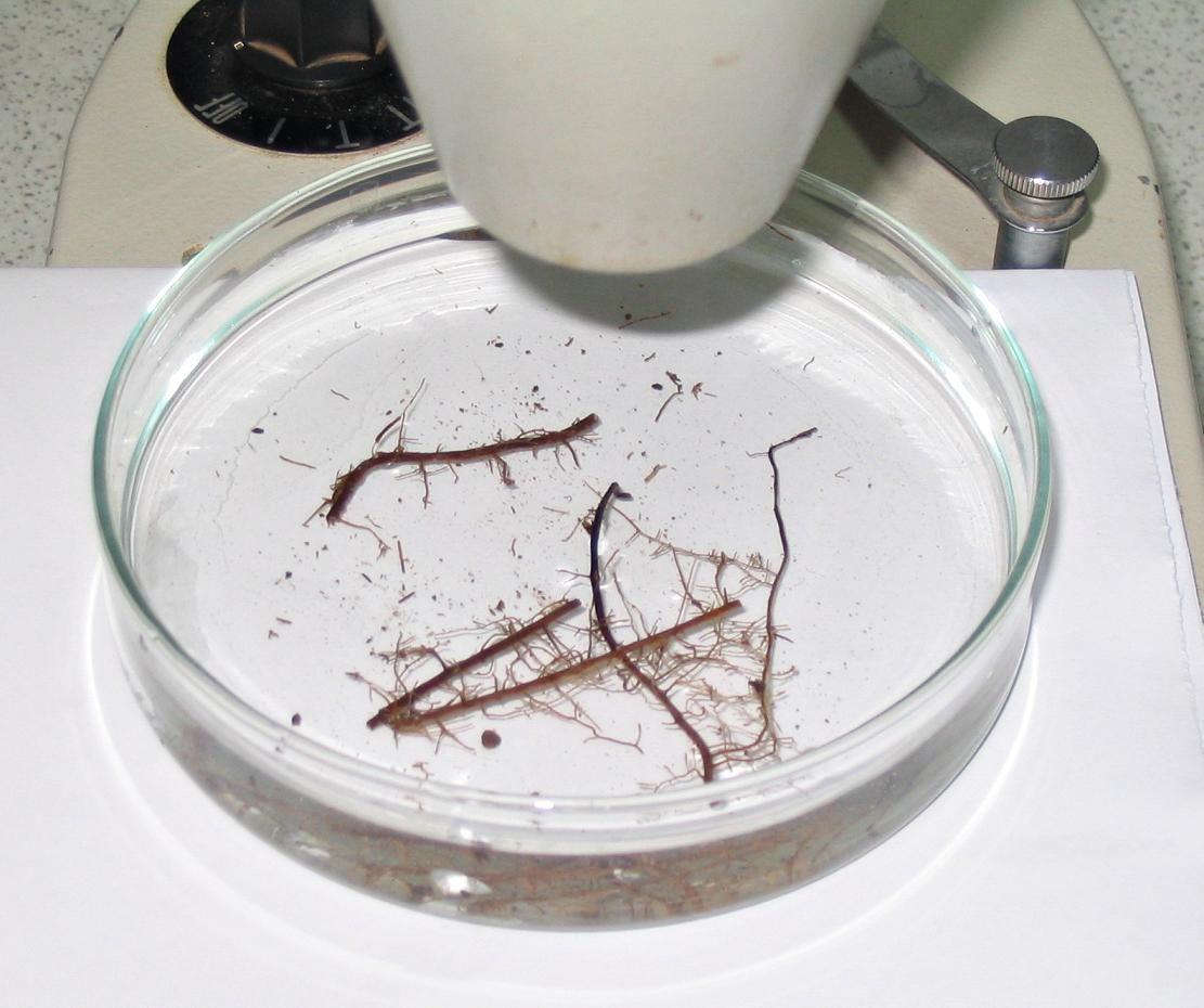 raices micorrizadas