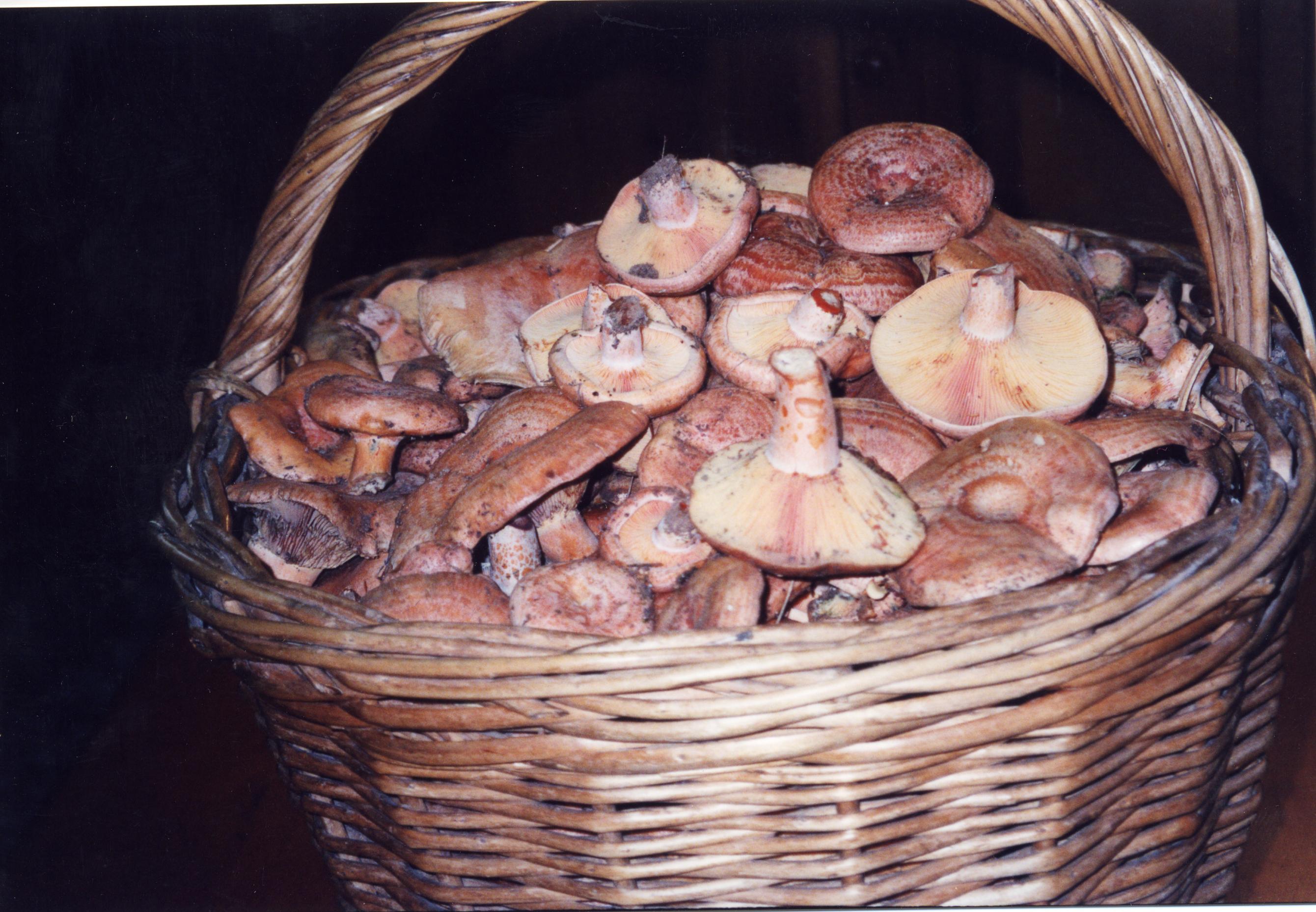 Lactarius deliciosus, robellón o rebollón son una de las setas más apreciadas en la cocina.