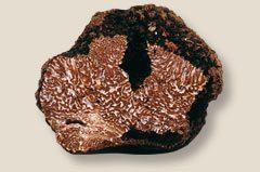 La trufa uncinatum o trufa de Borgoña se asocia princpalmente a pinos.
