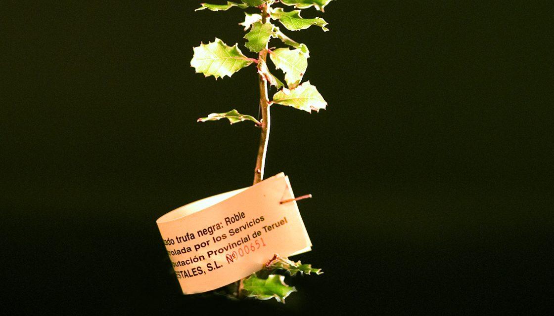 seedlings mycorrhizated with truffles