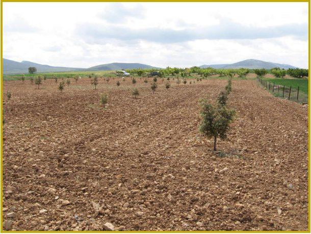 plantación carrascas