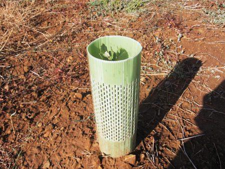 Protectores utilizados para proteger el árbol micorrizado en los primeros años.