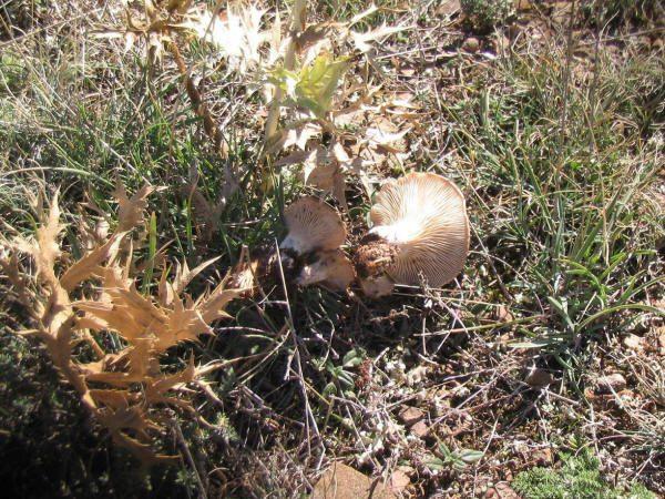 Es posible cultivar setas de cardo en el jardín.