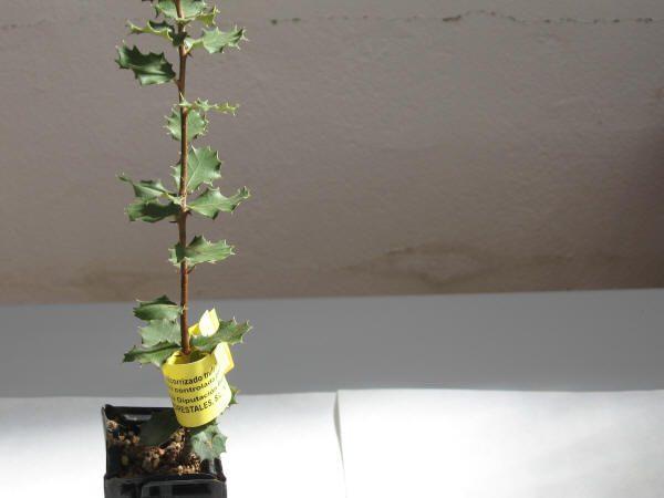 Control de calidad de la planta micorrizada con trufa.