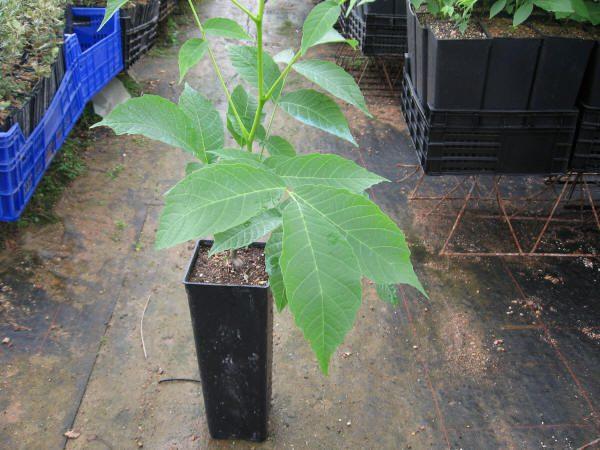Clon joven de juglans regia para la producción de madera.