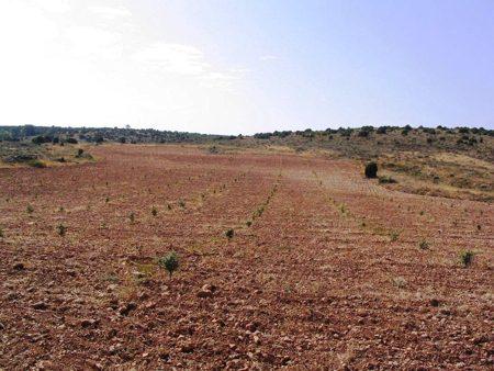 Plantación de árboles micorrizados para cultivar trufa negra.