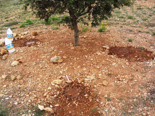 cultivo trufa negra