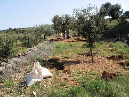 cultivo trufa