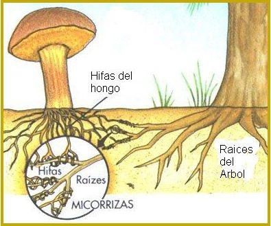 hifas de hongo y raíces de árbol