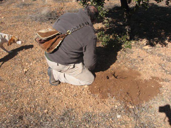 Recogiendo trufas en una trufera natural.