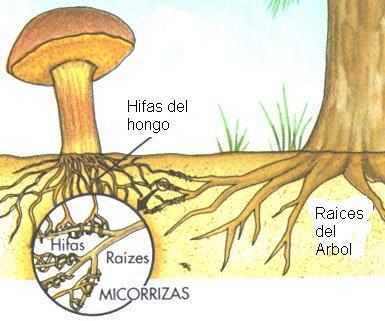Esquema del micorrizado del hongo a las raices del árbol.