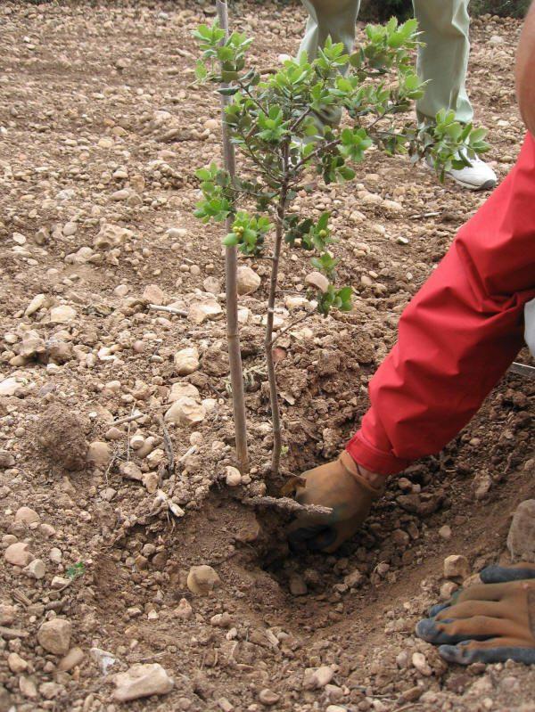 Búscando trufas en las raices del árbol.
