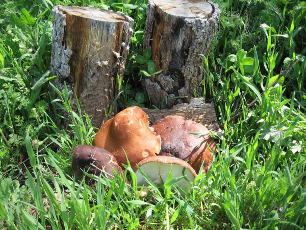 Cultivar setas en troncos de madera en el jardín.