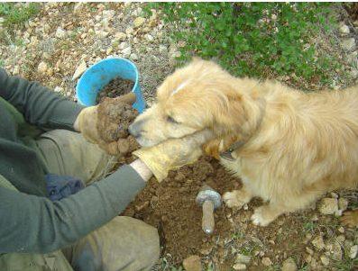 perro buscando trufa
