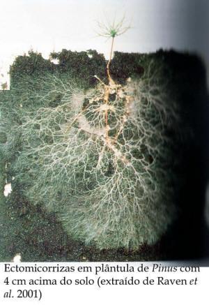 Ectomicorrizas en plántula de pino.