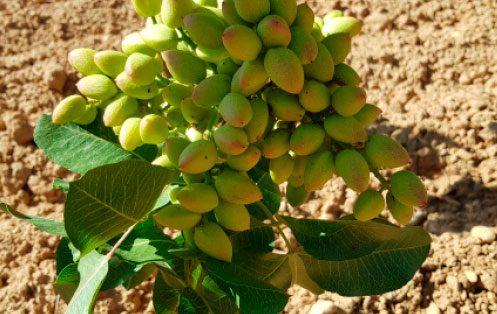 Pistacho pistachio pistacia vera scaled