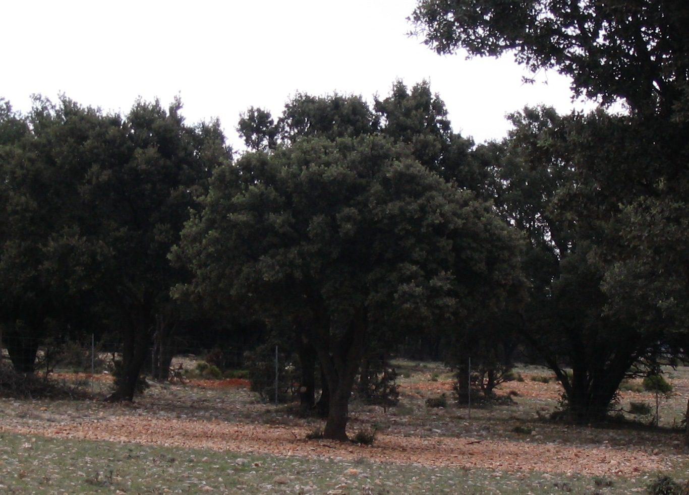 Plantación de árboles micorrizados para el cultivo de la trufa.