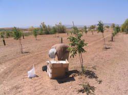 Huerto clonal semillero de nogales para madera.