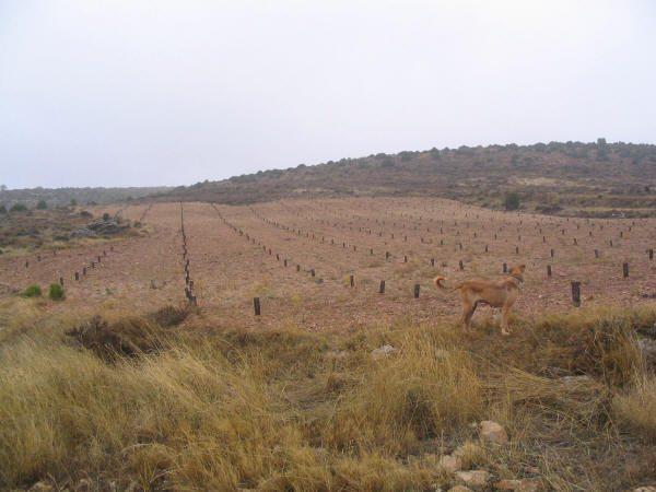 plantación intensiva trufa