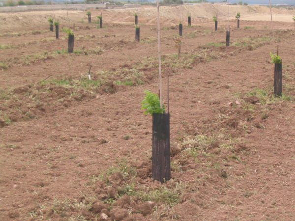 plantación nogales jóvenes