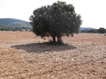 Los primeros años de vida de la plantación de trufa son los más importantes.