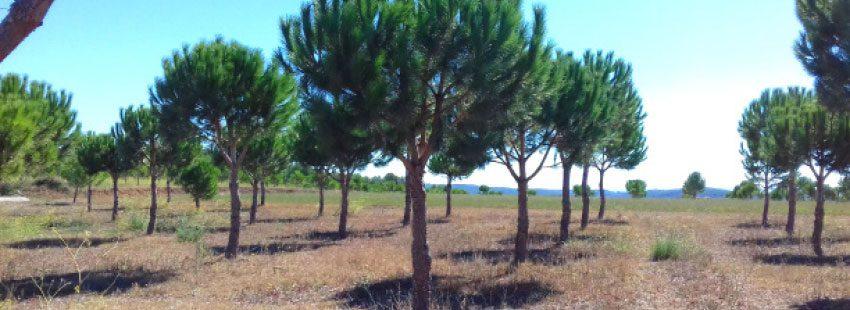 Plantas micorrizadas con trufa borchii o bianchetto