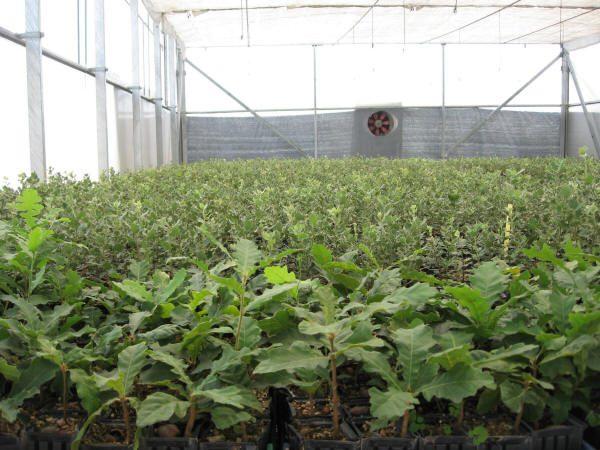 Planteros de plantas micorrizadas para plantar trufas.