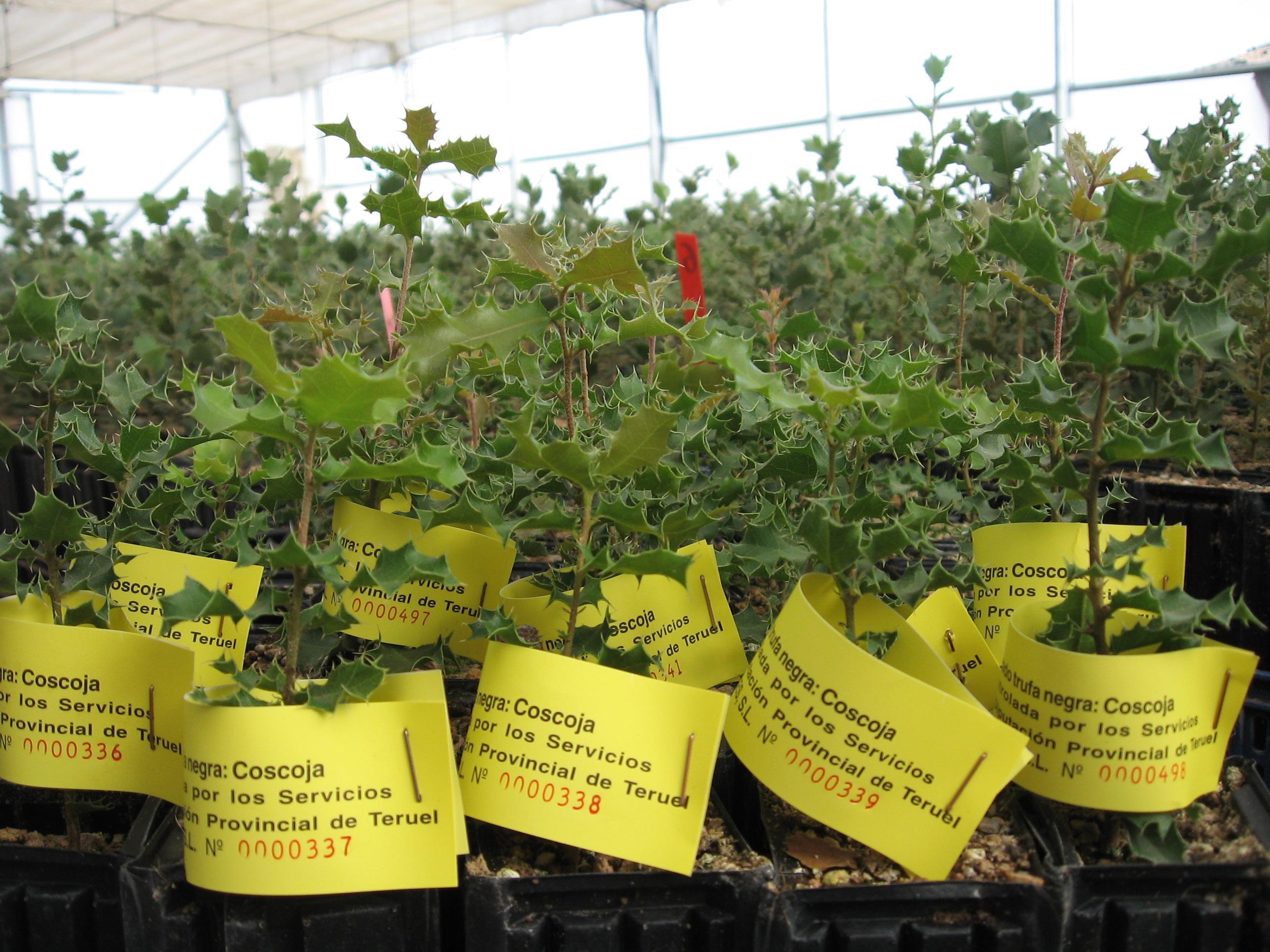 La coscoja es otro de los árboles que pueden producir trufa.