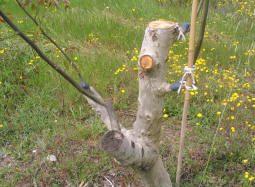 Injertado de árboles adultos en uno de los huertos semilleros.