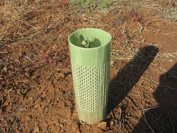 Protectores para plantas micorrizadas jóvenes.
