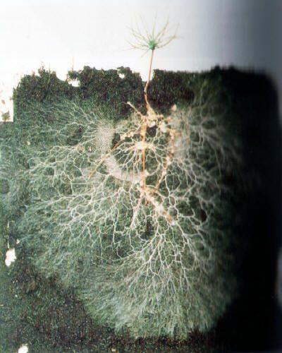 Detalle de las raices del pino micorrizadas.