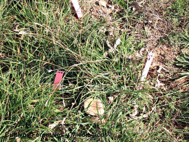 seta de cardo en campo