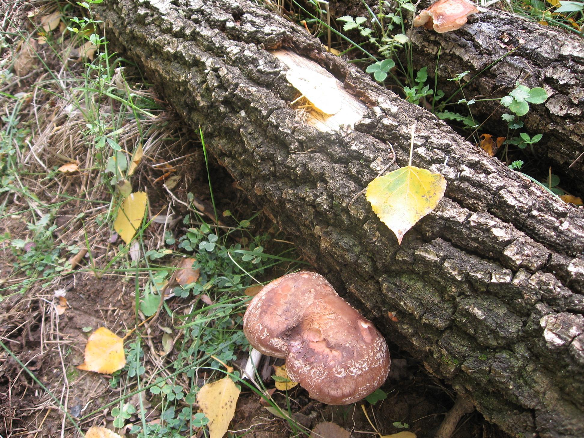 Setas creciendo sobre uno de los troncos.