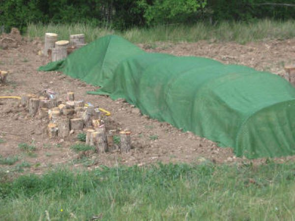 Los troncos con setas pueden plantarse en el jardín o en el huerto.