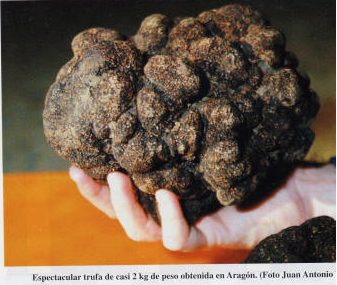 trufa negra grande
