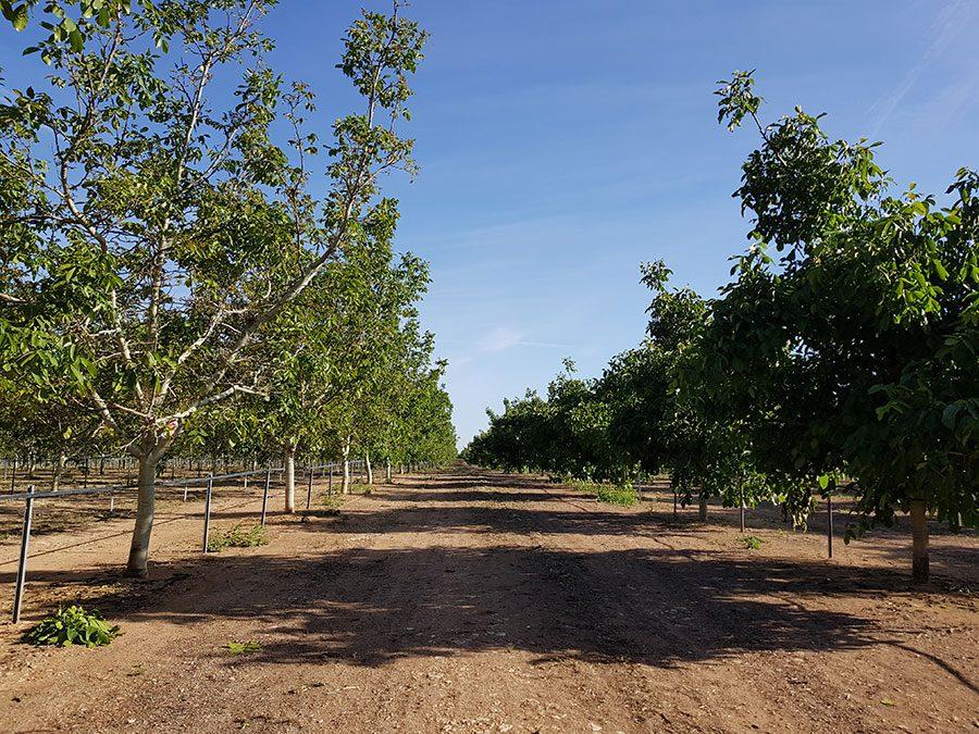 Nogal fruto plantación
