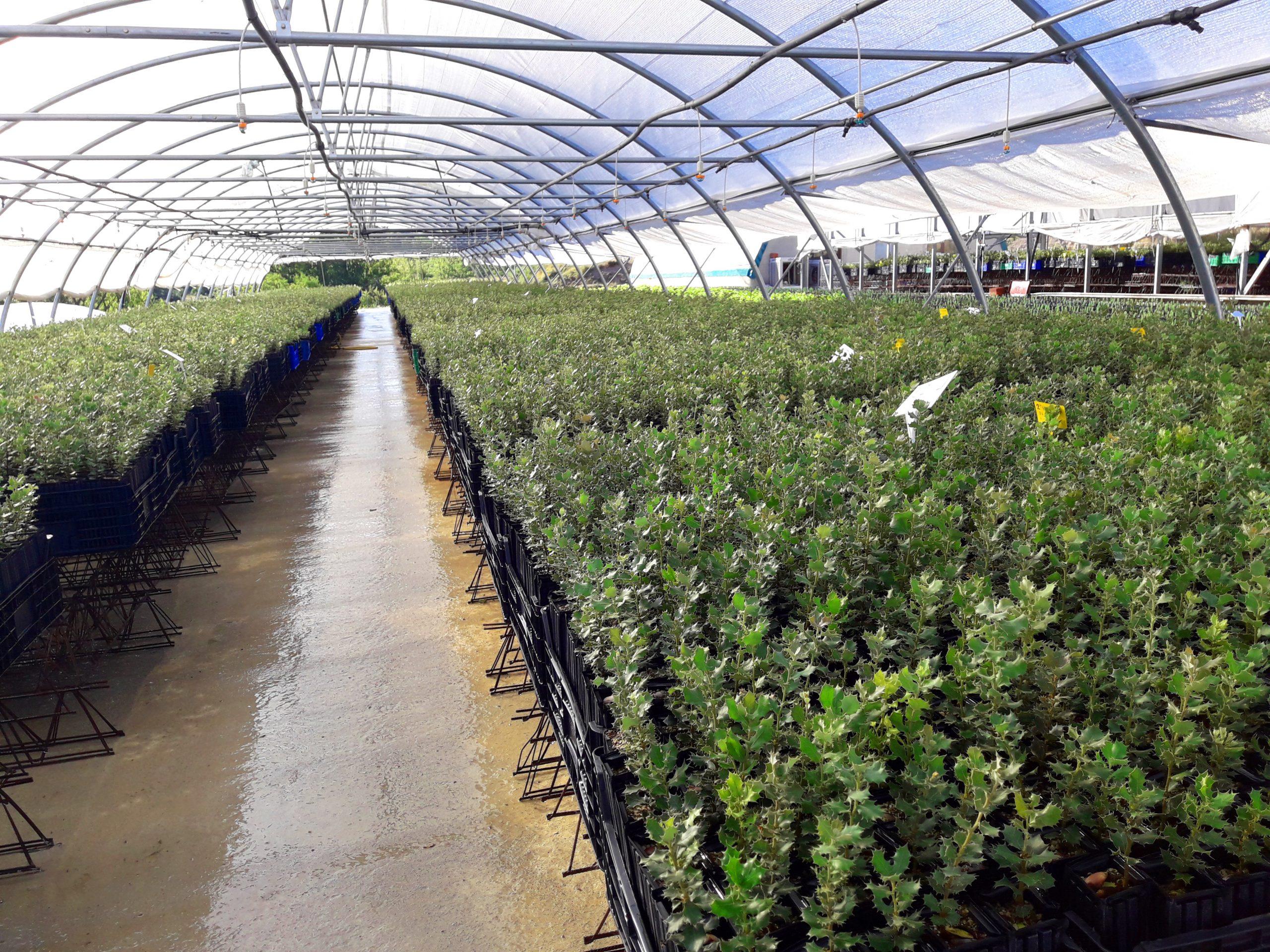 cultivos forestales micorrizadas