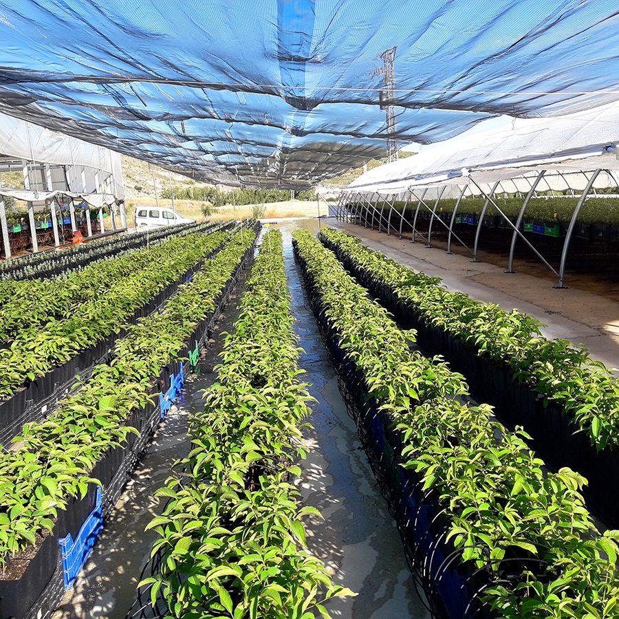 cultivos forestales vivero nogal