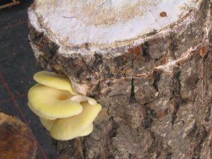 tronquitos que dan setas