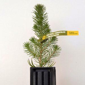 pino inoculado con lactariusus