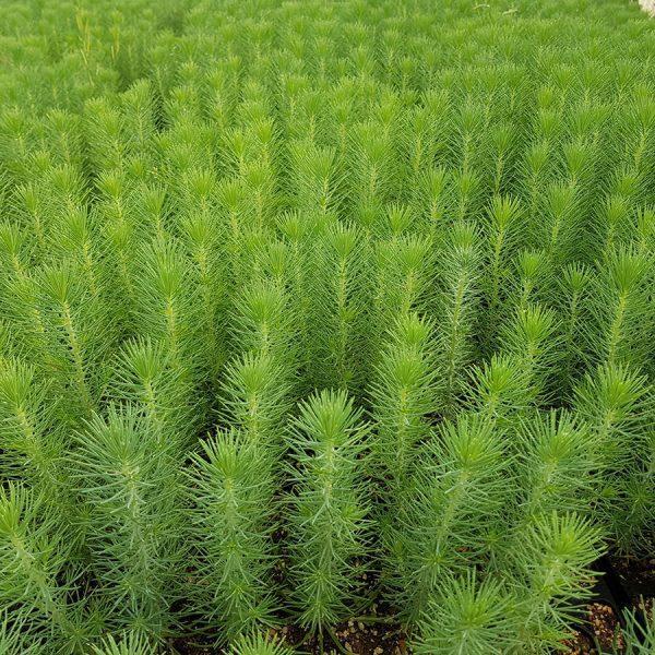 planta micorrizada trufa uncinatum pino
