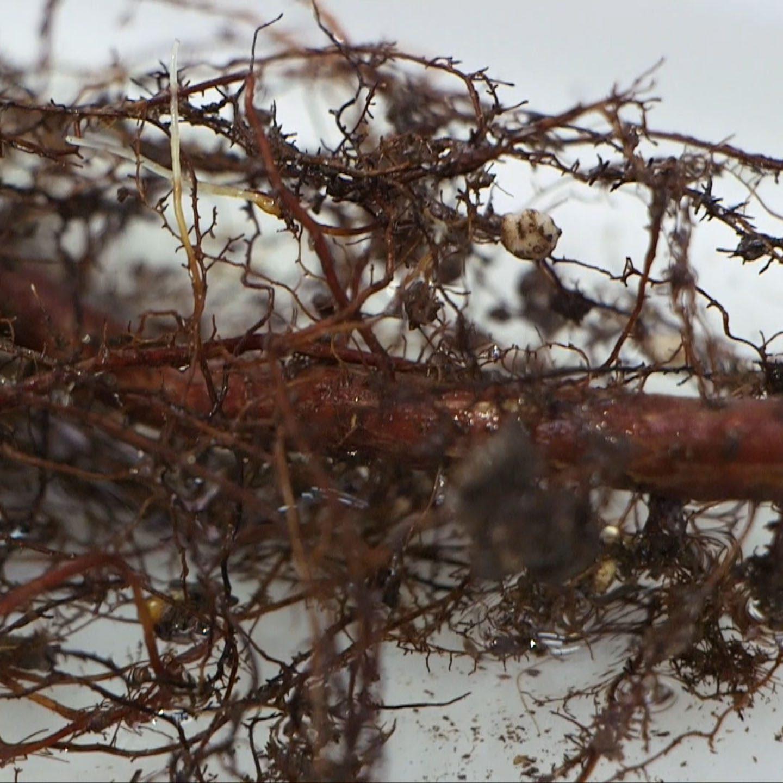 raiz micorrizada